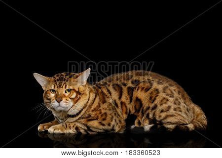 Bengal Male Cat Lying and Looking Frowning in Camera on isolated Black Background with reflection, Side view