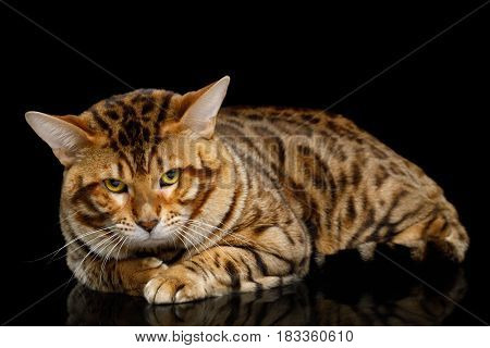 Bengal Male Cat Lying and Looking Frowning in Camera on isolated Black Background with reflection, Front view