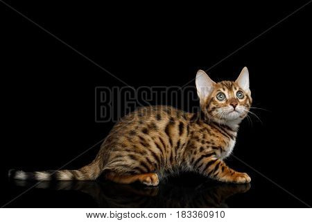 Bengal Kitten Sitting on isolated Black Background with reflection, Side view