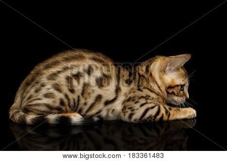 Bengal Kitten Lying on isolated Black Background with reflection, Side view