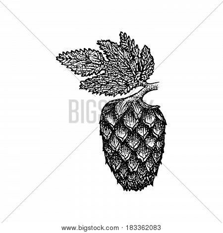 Vector Engraving Hops Cone Illustration.