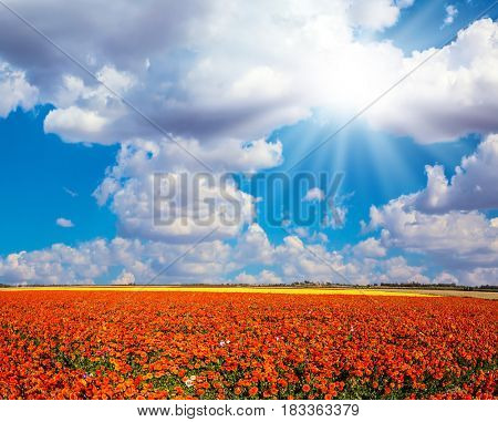 The southern sun illuminates the fields of red garden buttercups- ranunculus. Clear spring day.  Concept of rural tourism