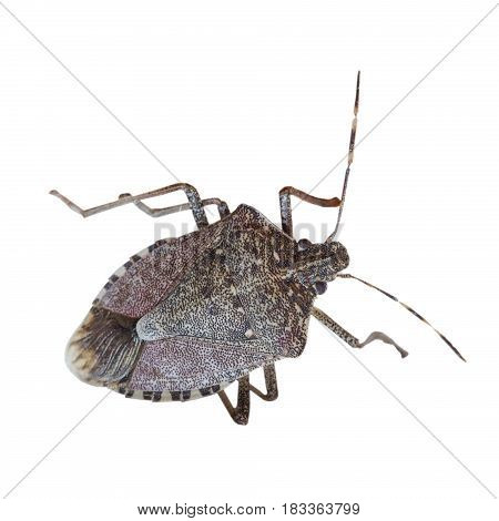 Brown marmorated stink bug (Halyomorpha halys) insect animal isolated over transparent background PNG