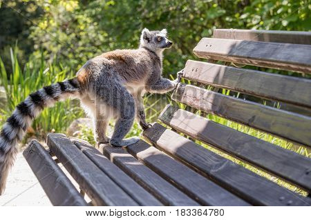 Lemur on bench background of green forests. Close up of a ring-tailed lemur portrait of Lemur.