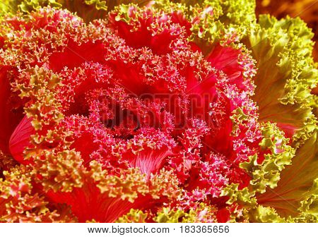 Colorful ornamental Kale or cabbage. Beautiful flowering plant in the flower bed in the decorative garden. The decoration of a country house and urban flowerbed. Horizontal location.