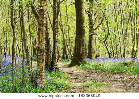 Bluebell walk in Abbot's Wood in East Sussex, England