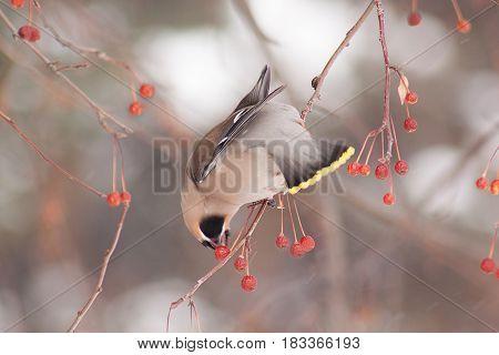 Cedar waxwing eating an frozen apples. Morning in winter forest.