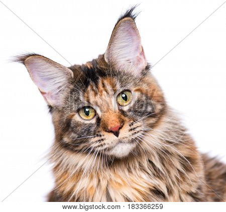 Portrait of domestic tortoiseshell Maine Coon kitten. Fluffy kitty isolated on white background. Close-up studio photo adorable curious young cat looking at camera.