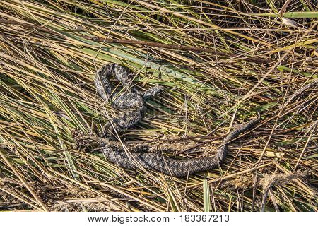 Poisonous viper snake in dry grass. Europe autumn