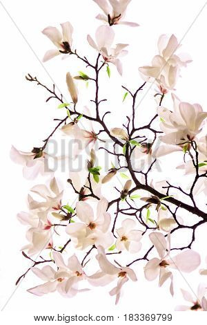 Bush of a pink magnolia on a white background