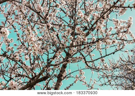 Almond trees in bloom in the Retiro park in Madrid, Spain. Selective focus