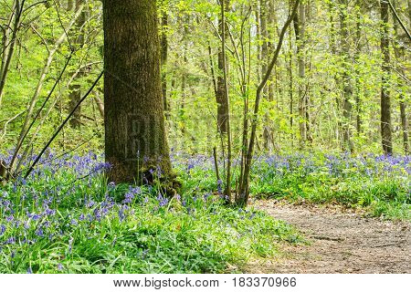 Footpath in Abbot's Wood in East Sussex, England, view of blossoming bluebells