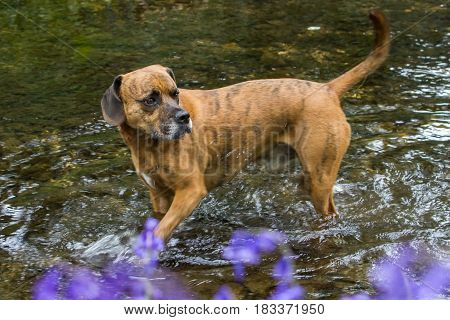 Happy Pet Dog paddling in River Water