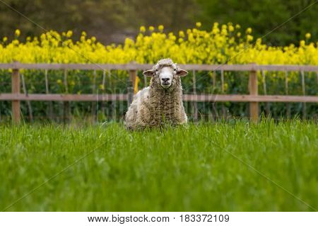 Happy Cute Sheep stood in grassy field