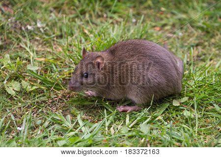 Wild Brown Rat Animal Portrait on Grass