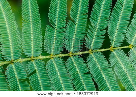 Leaf of sleepy plant or shy plant for texture background.
