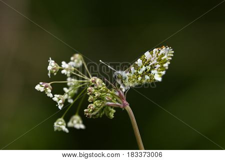 Beautiful Male Orange Tip Butterfly (Anthocaris cardamines)