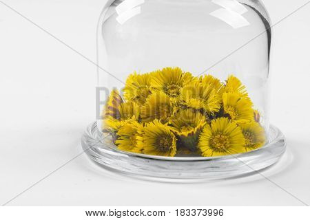 Spring coltsfoot (or tussilago) flowers in glass mini dome