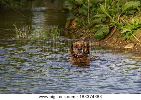 Cute Pet Dog Swimming in River Water