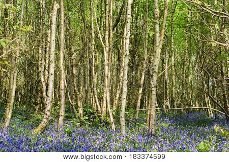Lots of bluebells in Abbot's Wood in East Sussex, England