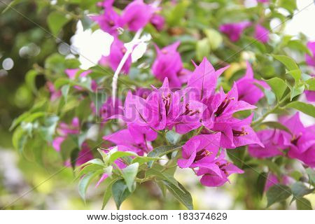 Purple bouganvilleas in a garden. Beautiful flowers
