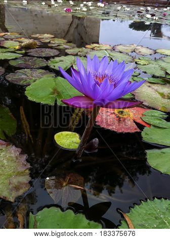 Violet lotus flower on the surface of water