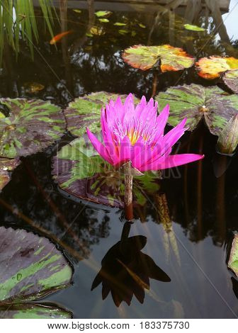 Pink lotus flower on the surface of water