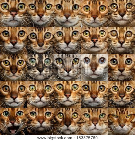 Collage of 25 Bengal Cat faces, compare different kitty