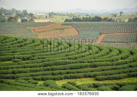 beautiful curve pattern of green tea plantation terraced on the hill agriculture in Chiang Rai Thailand