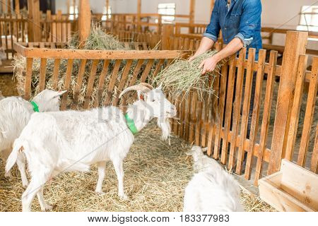 Farmer feeding white goats with hay in the barn
