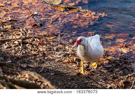 The Muscovy duck walking on the shore of lake closeup