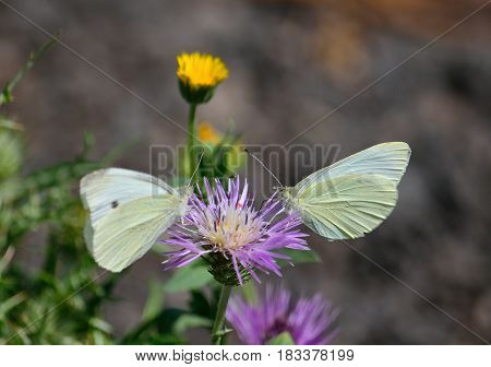 Two white butterflies sharing a splendid thistle flower