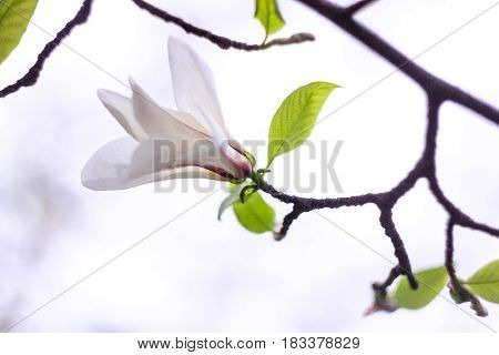Gently white magnolia flower on a white background