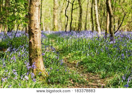 Footpath through carpets of bluebells in Abbot's Wood in East Sussex, England