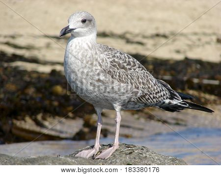 Close-up of a seagull (Laridae Lari)perched on rocky beach