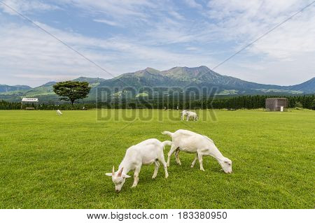 Goats eat grass in a farm near Aso mountain in Kumamoto Japan.