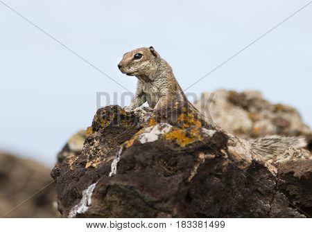 A Barbary Ground Squirrel Atlantoxerus getulus on a volcanic rock in Fuerteventura Spain.