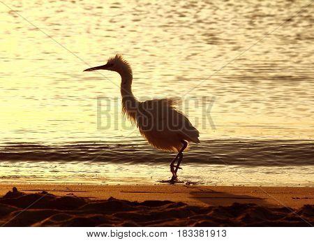 fun disheveled heron bird on coastline at morning