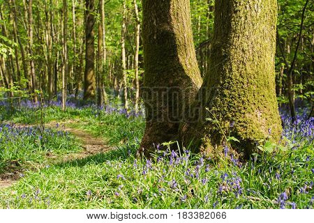 Little path and carpets of bluebells in Abbot's Wood in East Sussex, England