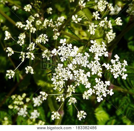 Cow parsley (anthriscus sylvestris)  Queen Anne's Lace flower head.