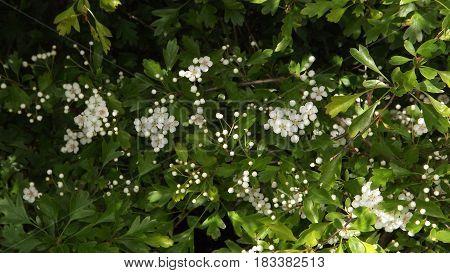 Hawthorn blossom also known as mayflower, White flower
