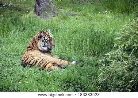 Royal Tiger Or Bengal Tiger