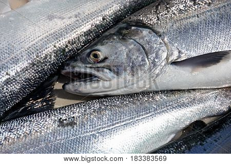 collection of dead coho salmon in cooler