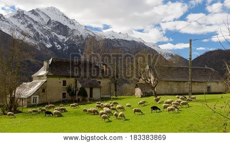 Herd of sheep in the meadow barn at background french Pyrenees