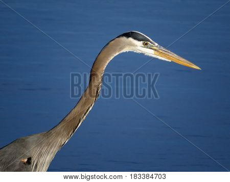 A closeup portrait of a Great Blue Heron with a beautiful blue lake in the background.