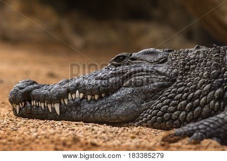 Nile crocodile Crocodylus niloticus, close-up detail of teeth with blood of the Nile crocodile open eye, Sharpened teeth of dangerous predator