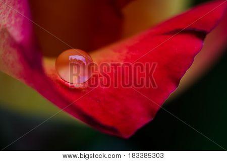 Orange rose colors in water drop with dark background