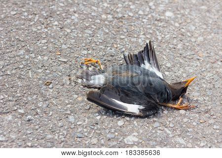 Dead black bird on the road because car crash in Thailand copyspace