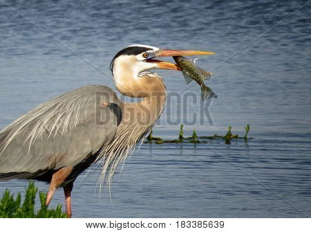 A Great Blue Heron holding a fish in its mouth with lake water in the background.