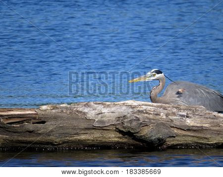 A Great Blue Heron beside a large piece of driftwood in a blue lake.